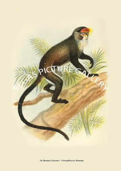 Fine art print of the De Brazza's Guenon - Cercopithecus Brazzae by Henry Ogg Forbes (1897)